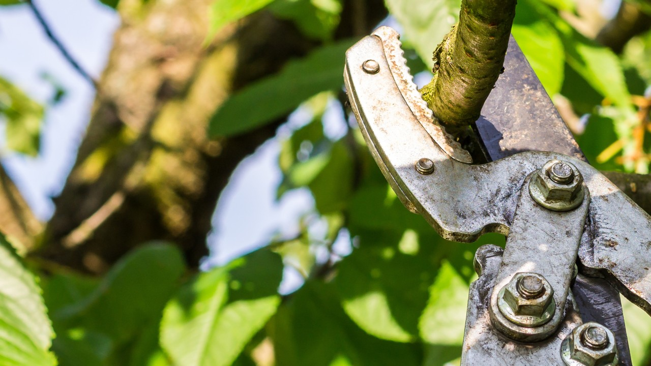 Kirschbaum wird mit einer großen Astschere beschnitten, © animaflora /Fotolia